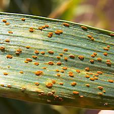 Plant Rust