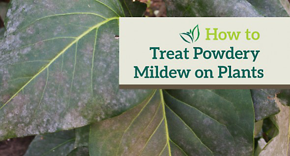 How to Treat Powdery mildew on plants