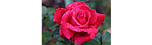 Best Rose Pick: Pretty Lady Rose