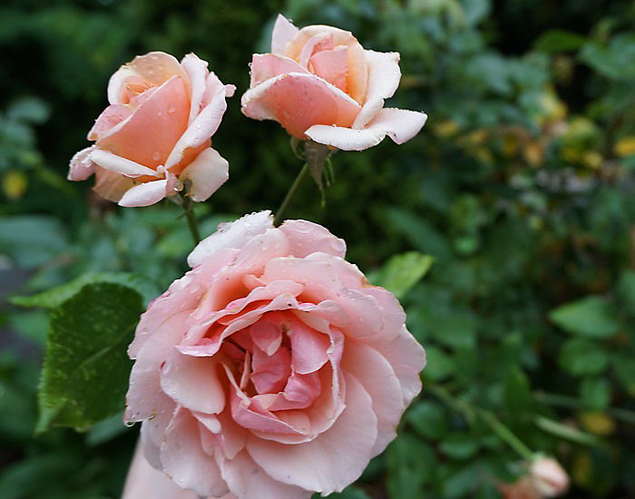 best roses to grow that are low maintenance and easy to care for. Photo by Alicia Lawrence