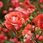 Black Spot on Roses