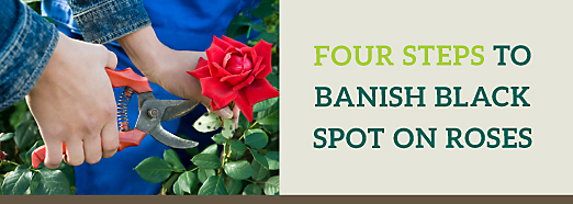 Steps to Banish Black Spot on Roses
