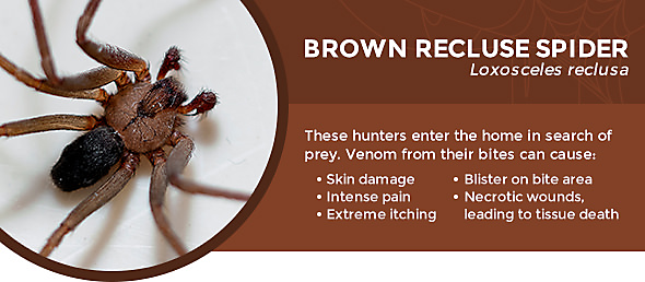 best way to get rid of brown recluse spiders