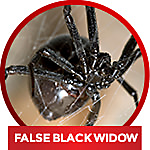 common household spiders - identify false black widow