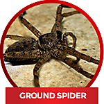 Identify spider-ground spider