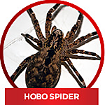common household spiders - Hobo Spider
