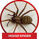 common household spiders