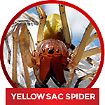 how to get rid of a yellow sac spider
