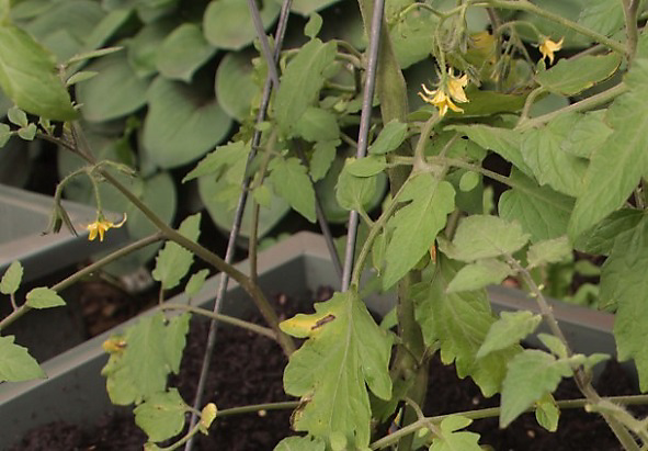 blossom drop on tomato plants