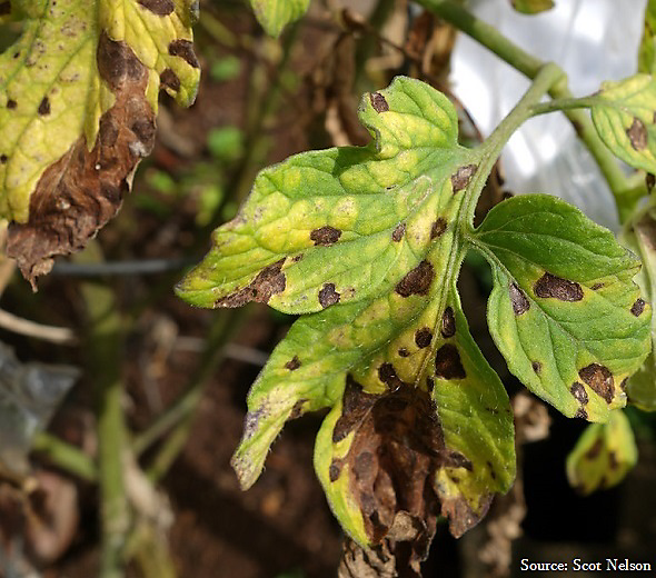 Why Is My Plants Leaves Turning Yellow: 20 Common Tomato Plant Problems And How To Fix Them