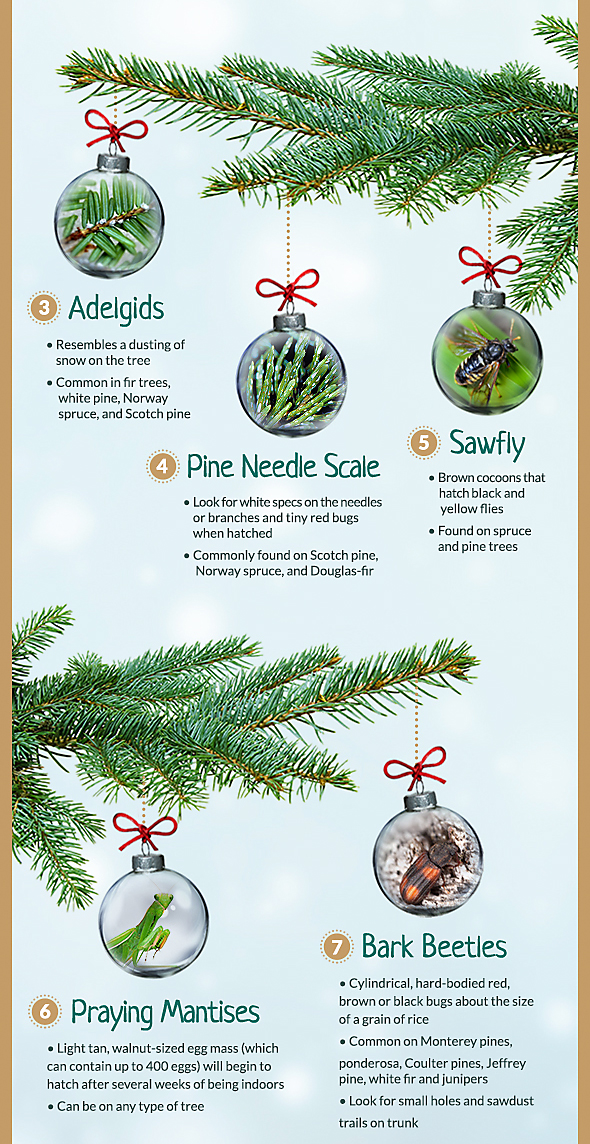 Type Of Christmas Trees.Common Christmas Tree Bugs And How To Get Rid Of Them