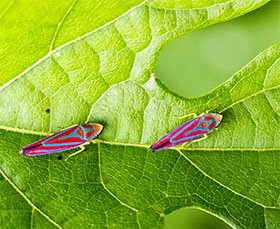 CANDY STRIPED LEAFHOPPER
