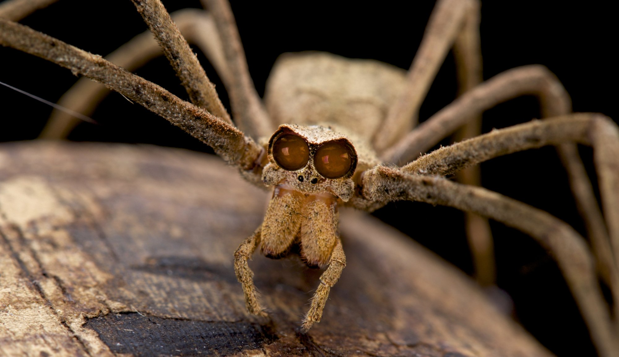 Ogre faced spider facts insects in education for How can i stop spiders from coming in my house