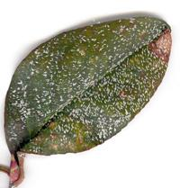 A leaf infested with scale