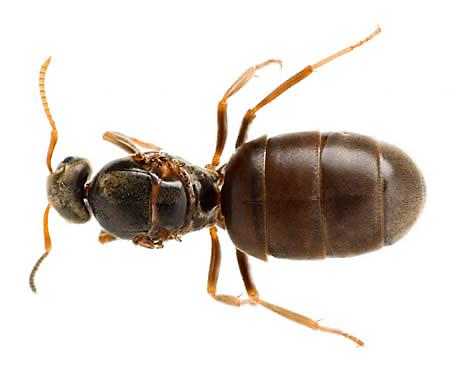 Queen Ant Eggs