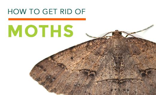 Clothes Moths Facts How To Get Rid Of