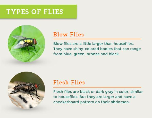 Types of Flies: Blow flies, Flesh Flies