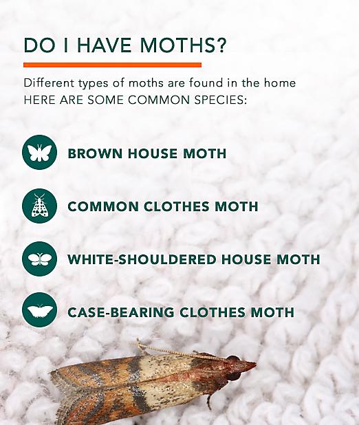 Life Cycle Pantry Moth Pantry Moths Life Cycle And Moth