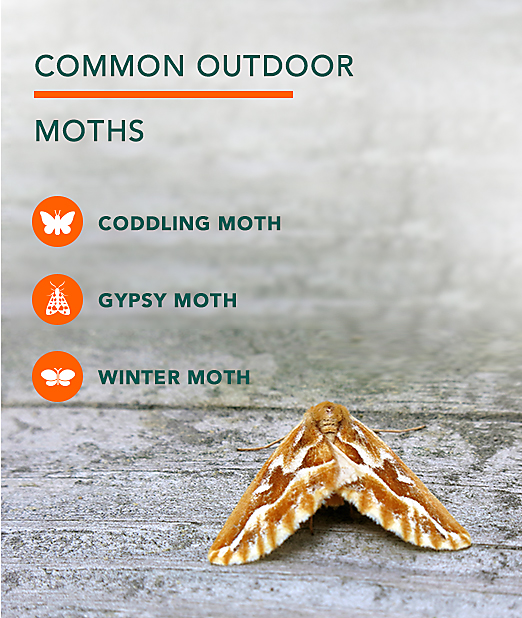 Common Outdoor Moth Pests