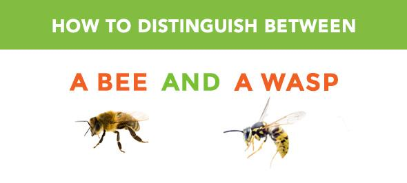 How to distinguish bees from wasps