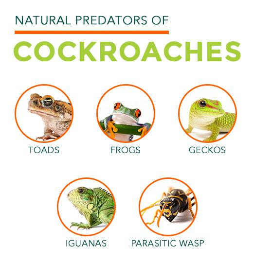 Natural Predators of Cockroaches: toads, frogs, geckos, iguanas, parasitic wasps