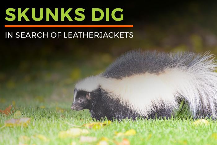 Skunks Dig In Search Of Leatherjackets