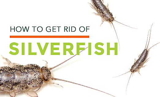 How To Get Rid Of Silverfish Silverfish Habitat Amp Control