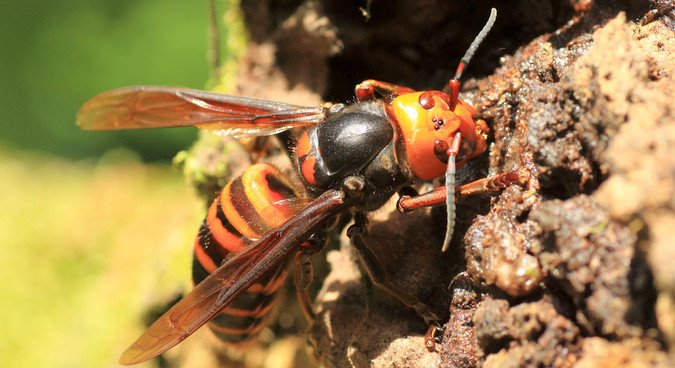 Asian Giant Hornet Facts | Insects in Education
