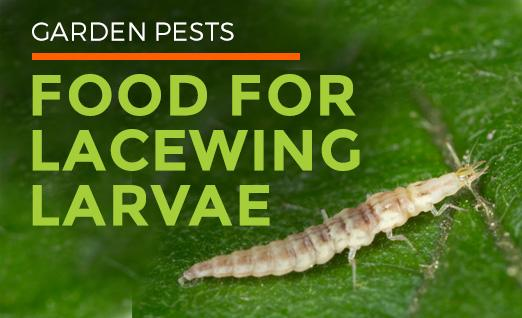Garden Pests: Food for Lacewing Larvae