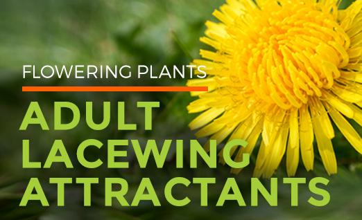 Flowering Plants: Adult Lacewing Attractants