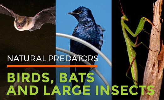 Natural Predators: Birds, Bats, and Large Insects
