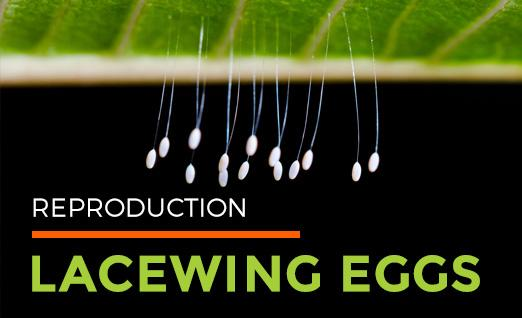 Reproduction: Lacewing Eggs