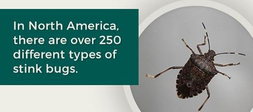 In North America there are over 250 different types of stink bugs