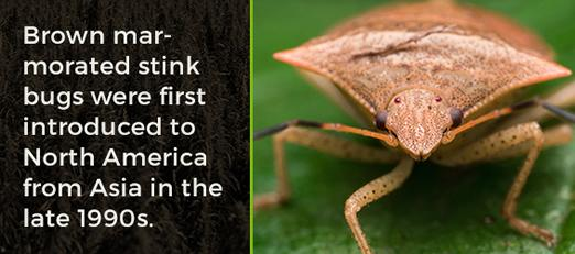 Brown marmorated stink bugs were introduced to North America from Asia in the late 90s