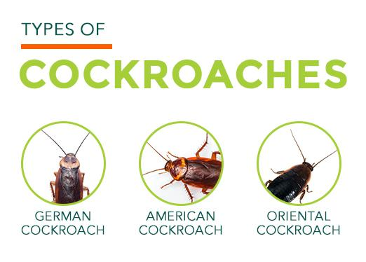 Types of Cockroaches: German, American, Oriental