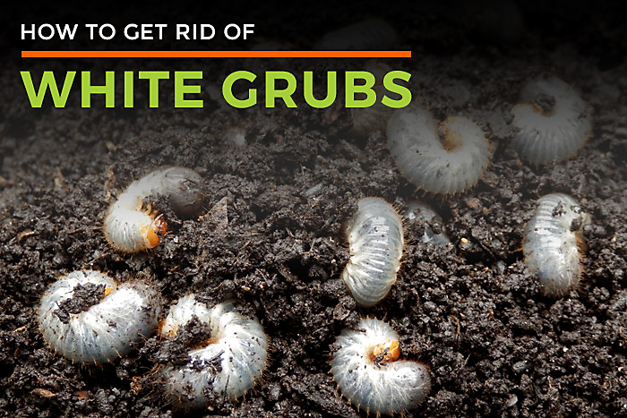 White Grubs In Garden Facts Diet Habitat Amp Life Cycle