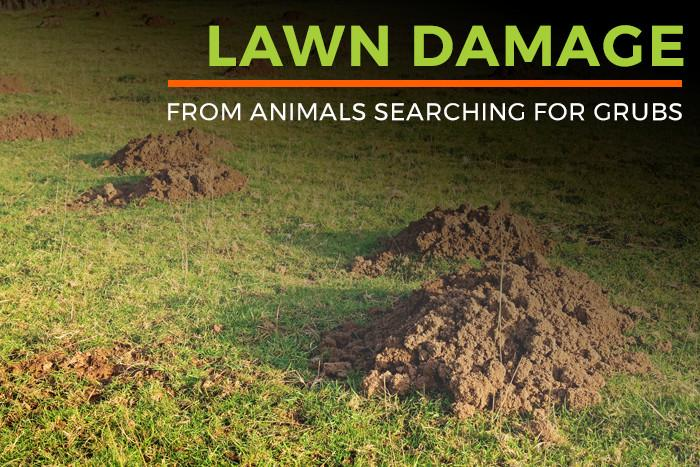 Lawn damage from animals searching for grubs