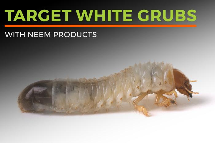 Target white grubs with Neem Products