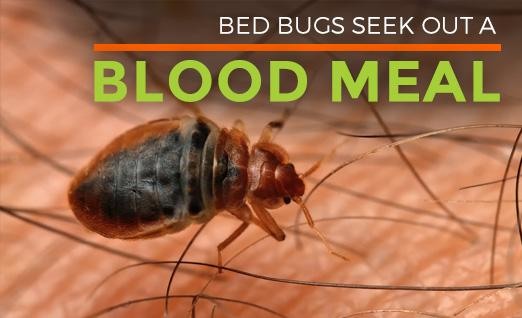 Bed Bugs seek out a blood meal