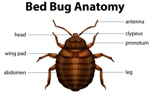 Diagram of the Anatomy of a Bed Bug