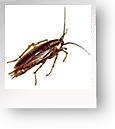 D Earth Cockroaches Diatomaceous Ea...