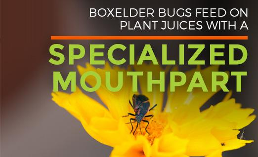 Boxelder bugs feed on plant juices with a specialized mouthpart
