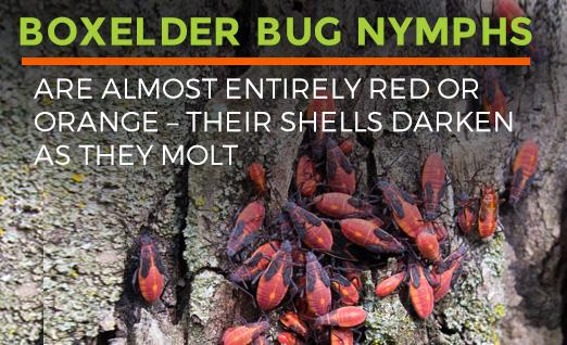 Boxelder Bug nymphs are almost entirely red or orange, and darken as they molt