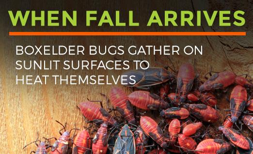 Boxelder bugs gather on sunlit surfaces for warmth