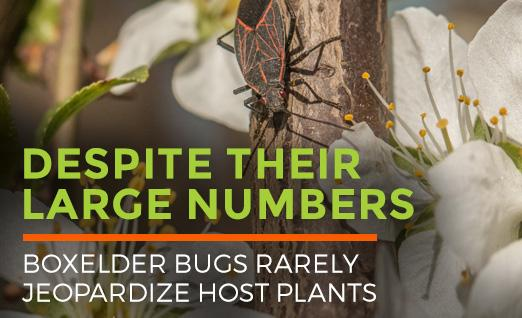 Boxelder Bugs rarely jeopardize host plants