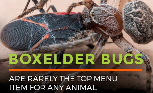 Boxelder Bugs are rarely the top menu item for any animal