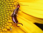 An earwig crawling on a sunflower