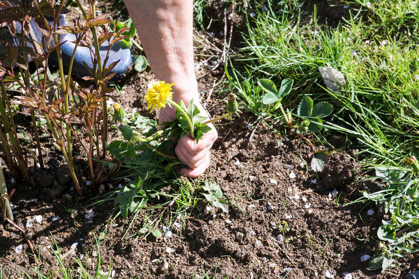 Yellow dandelion being pulled out of the ground by hand
