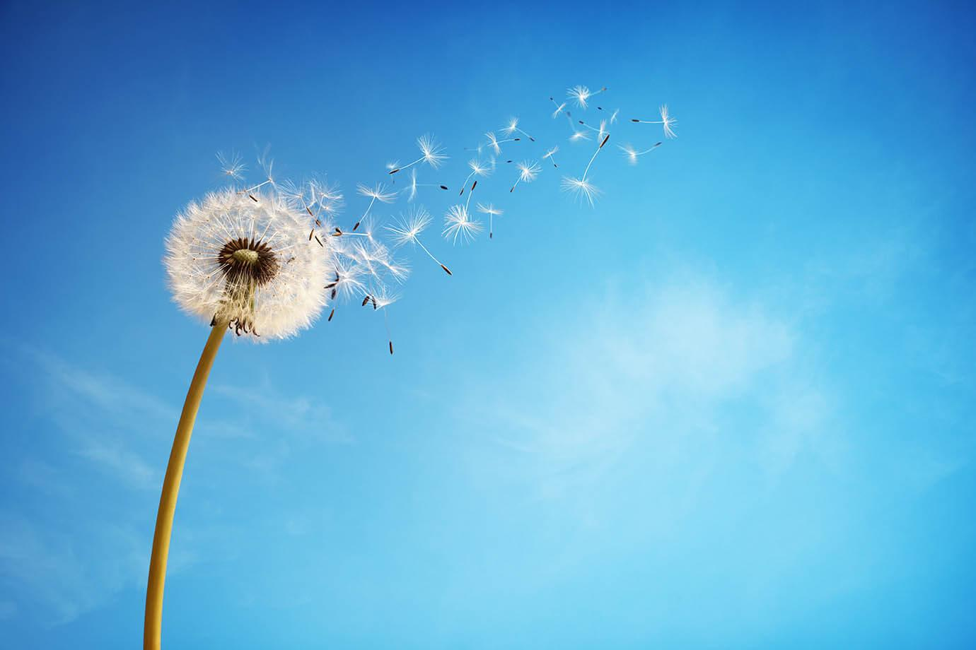 A dandelion with seeds being blown off in the wind