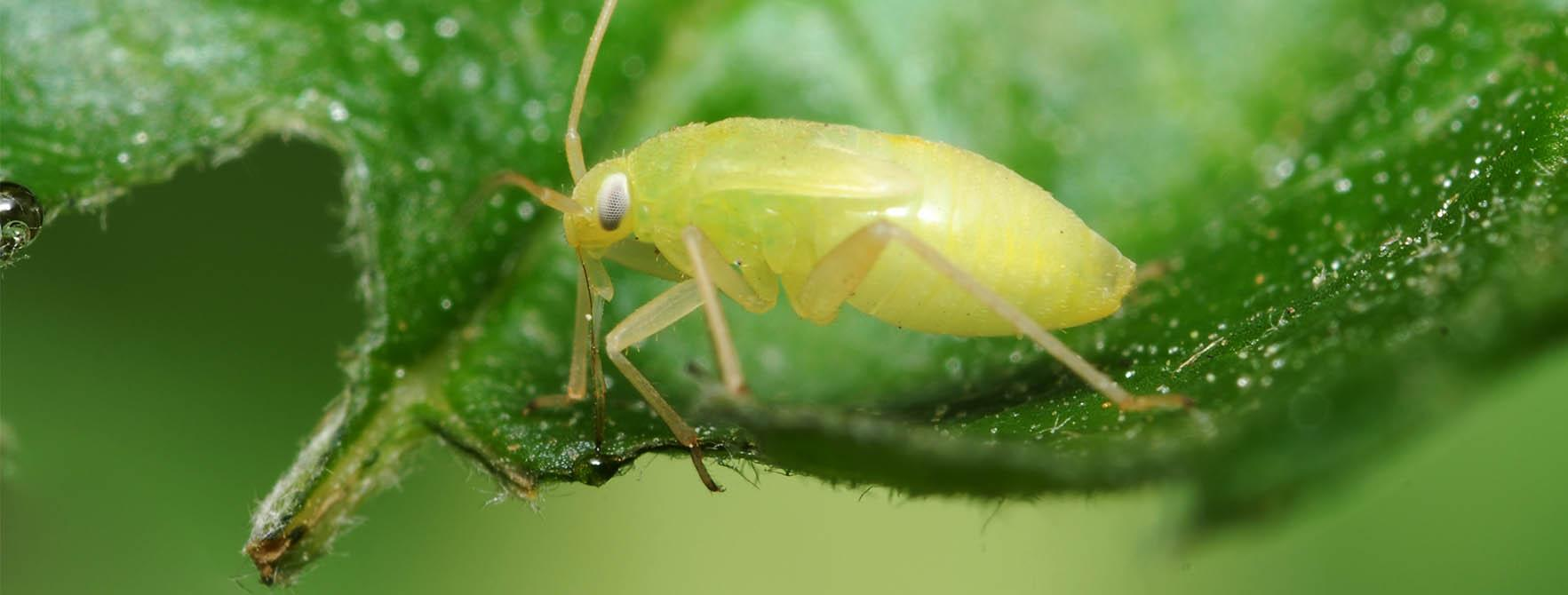 What Are Aphids | Aphid Insect Facts, Habitat & Control Options